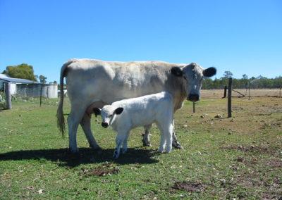 jocasta-and-bull-calf-dob-16-3-07