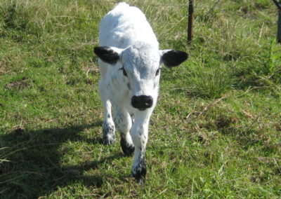 shenilou-bull-calf