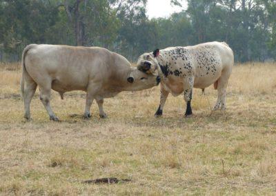 ravenswood-bulls-1024x768