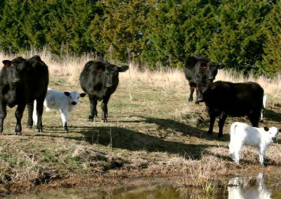 Angus Cows with Angus x British White calves.