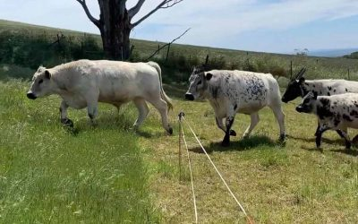 Regenerative Holistic Farming with British White Cattle