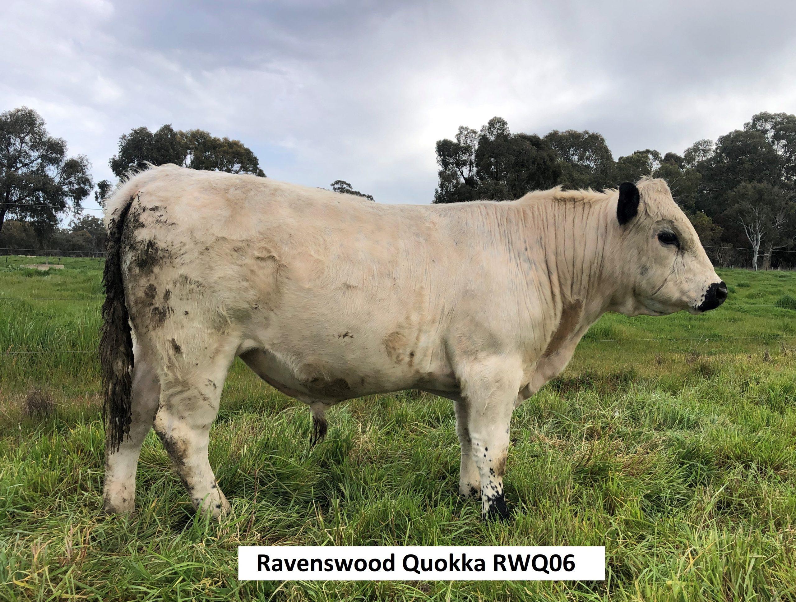 Ravenswood Quokka  RWQ06