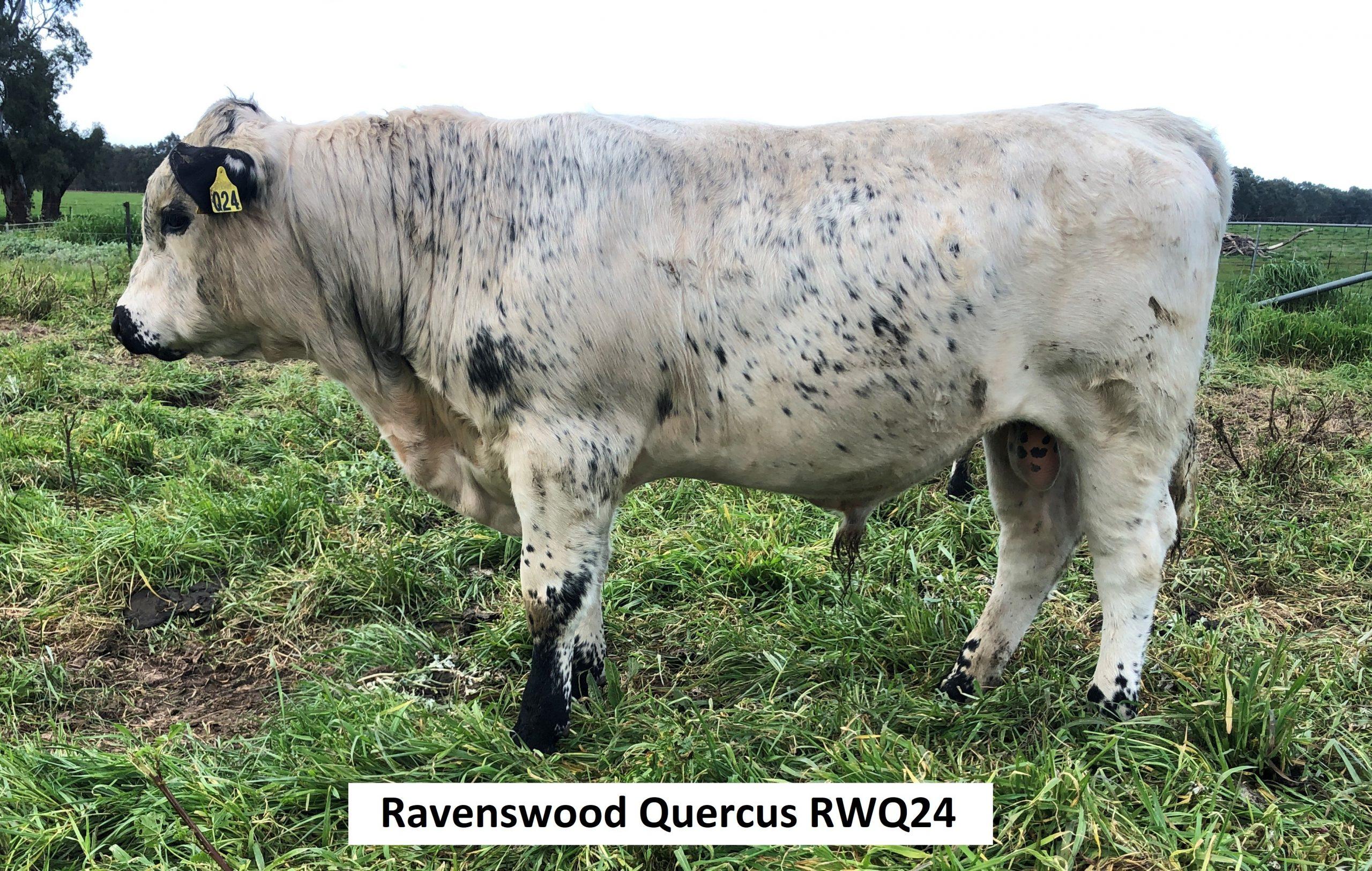 Ravenswood Quercus RWQ24